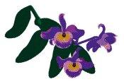 Dendrobium Findlayanum Orchid