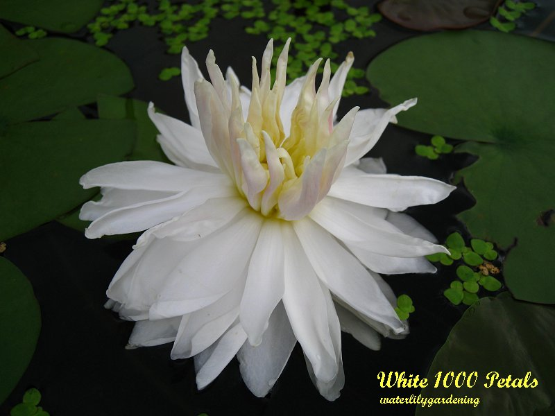 White 1000 Petals A Couple Others