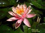 Colorado Hardy Salmon/Peach water lily
